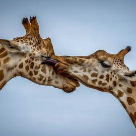 The giraffe affection by Jose Rojas - Animals Other Mammals ( wild animal, giraffe, tallest animal, african animal, giraffes )