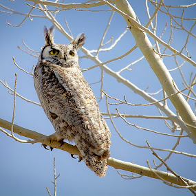 Great-Horned Owl Poses by M Knight - Animals Birds ( bird, talons, tree, nature, wings, owl, wildlife, feathers, great horned owl, animal )