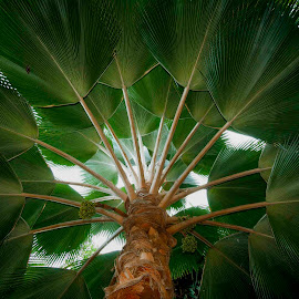 Hilo Palm Underside by Jim Downey - City,  Street & Park  City Parks ( lightiong, palm tree, tropical, symmetry, big island )