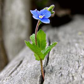 Alone flower by Slobodan Kovac - Flowers Flowers in the Wild ( wild, nature, color, blue, bobo, beautiful, beauty, photo, alone, flower )