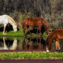 Salt River Horses Reflection by Fred Herring - Animals Horses