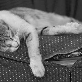 The sleepy king by Prajwal Ullal - Animals - Cats Portraits ( canon 100mm macro, cat, pet, lazy, sleeping, canon 550d,  )
