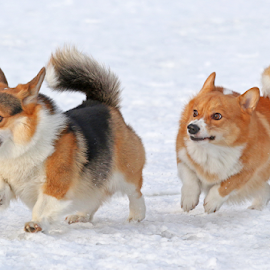 Mischievous Corgi by Mia Ikonen - Animals - Dogs Playing ( pembroke welsh corgi, finland, fun, expressive, running )