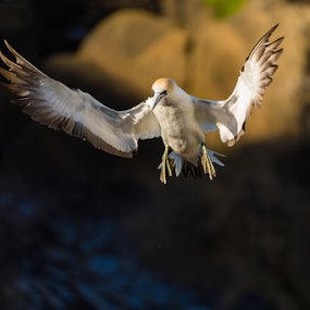 Landing by Mahdi Hussainmiya - Animals Birds ( gannet, lighting, landing, wings, action, bird in flight )