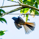 Blue-headed Fantail