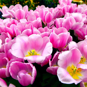 Blooming Pink Tulips by Welly Agus - Flowers Flower Gardens