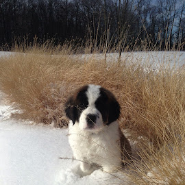Sugar Bear by Wendy Schultz - Animals - Dogs Puppies