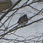 Dark eyed Junco (Slate-colored)