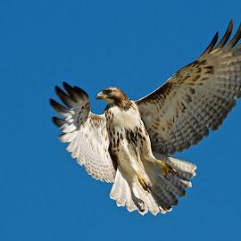 Red-tailed Hawk in flight by Dan Ferrin - Animals Birds ( bird, bird of prey, nature, red-tailed hawk, wildlife, raptor, birds, bird in flight, hawk )