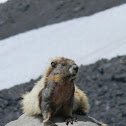 Yellow-Bellied Marmot?