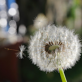 dandelion fluff by Charles KAVYS - Nature Up Close Gardens & Produce ( macro, dandelion, green, fluff, dandelion fluff )