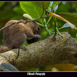 Irrawaddy Squirrel by Masudur Mamoon - Animals Other ( irrawaddy squirrel )