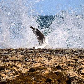 by Dan Mounsey - Instagram & Mobile Instagram ( Australia, GreatOceanRoad, ocean, bird, seagull, water, splash )