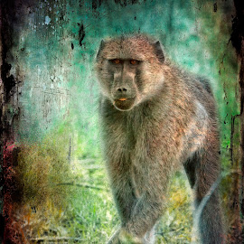 Cheeky monkey Textured by Gary Want - Digital Art Animals ( okavango delta, kwara, botswana, baboon, safari, africa, #wildlife, #locations )