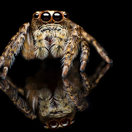 Jumping Spider by Percy (ReverseLensOnlyMacroPhotography) - Novices Only Macro