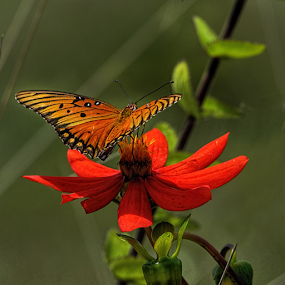 Butterfly and red flower by Cristobal Garciaferro Rubio - Animals Insects & Spiders