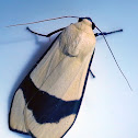 Acrtiid Moth