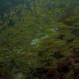 Yellowback Parade by DJ Cockburn - Animals Fish ( indian ocean, yellowfin fusilier, coral, zanzibar, reef, shoal, yellowback fusilier, fish, yellowtop fusilier, tanzania, caesio xanthonota )