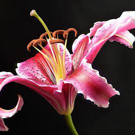 Pink glory by Efraim van der Walt - Uncategorized All Uncategorized ( glory, pink, flowers, close-up,  )