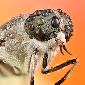 Hamatabanus exilipalpis by Donald Jusa - Animals Insects & Spiders ( animals, macro, extreme, horsefly, insects )