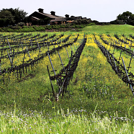 the road to Mendocino by Leslie Hunziker - Landscapes Prairies, Meadows & Fields ( field, mustard, vineyard, nature, grapes, winery )