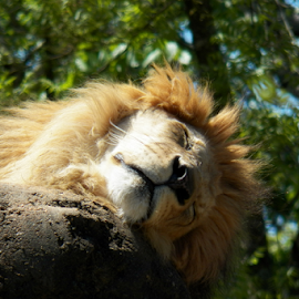 SLEEPING by Donna Caster Wagoner - Animals Lions, Tigers & Big Cats ( big cat, lion, cat, safari, sleep, Africa, Safari )