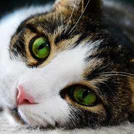 Gema by Samantha Anderson - Animals - Cats Portraits ( love, animals, cat, green eyes, kittens )