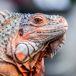 by Tanzilal Rochim - Animals Reptiles ( lizard, nature, color, pet, indonesia, 60d, animal )