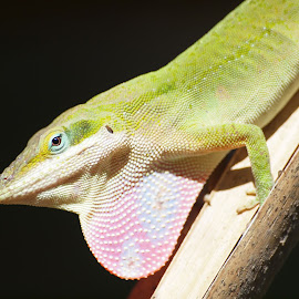 Anole displaying dewlap. by Chuck Cornell - Animals Reptiles ( lizard, green anole, south texas, dewlap, anole lizard,  )