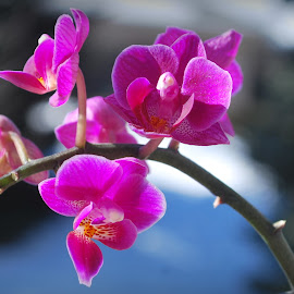 Pink Orchid by Elena Stanescu-Bellu - Nature Up Close Other plants ( pink flower, orchid, nature up close, pink, flower )