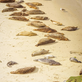 Lazy Day by Evan Jones - Animals Sea Creatures ( seal, sea lion, funny, wildlife, ocean, beach )