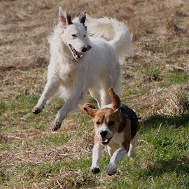 Gyp and George - Happy Boys! by Chrissie Barrow - Animals - Dogs Running ( dogs, grass, white, fun, running, tail, pet, fur, ears, legs, beagle, lurcher, tan, black, fiels )