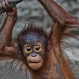 Hang around by Michael Milfeit - Animals Other Mammals ( affe, orang-utan, menschenaffe, pongo, hominidae, primat )
