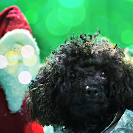 TOY POODLE WITH SANTA by Maureen Slough - Animals - Dogs Portraits ( #ilobsterit )