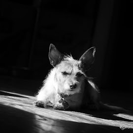 Baby Chloee by Ann Pangan - Animals - Dogs Puppies ( dogs, black and white, chihuahua, small, mix )