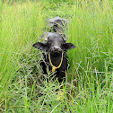 The water buffalo or domestic Asian water buffalo