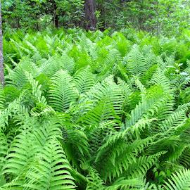 Fern Forest by Kathleen Koehlmoos - Landscapes Prairies, Meadows & Fields ( minnesota, fern forest, pretty walk, ferns love ferns! xo, ferns )