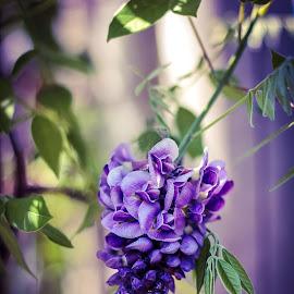 Cornerstone Beauty by Sandie Lawler - Novices Only Flowers & Plants ( cornerstone, purple, spring, flower )