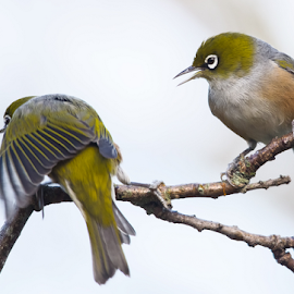 Shame on you! by Trevor Bond - Animals Birds ( bird, nz, waxeye,  )