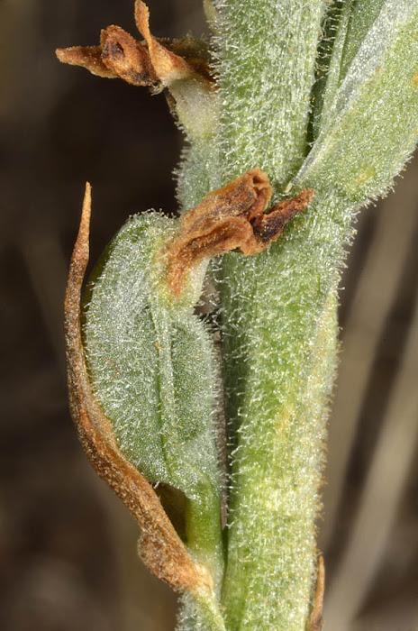 Frutos inmaduros de Spiranthes spiralis