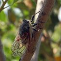 Chicharra, Cicada