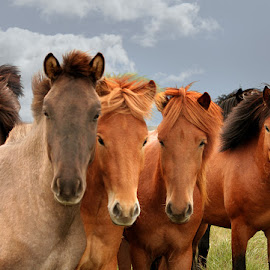 We are handsome.... by Anna Guðmundsdóttir - Animals Horses ( icelandic horses, horses, íslenskir hestar, hestar,  )