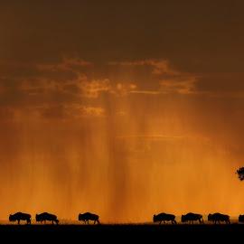 The Migration by Jasminder Oberoi - Animals Other ( canon, wild, wildebeest, migreation, mara, wildlife photography, silhouette, masai mara, twilight, minimalism, fine art, wildlife, photo safari, kenya, minimalistic, golden light, light chasers, sunset, canon photo tour, jassi oberai, great migration, jas fotography, animal )