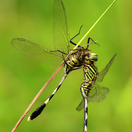 Cannibal by Ujang Achmad - Animals Insects & Spiders ( animals, dragon fly )