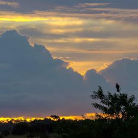 Predator Awaits Daylight by Rich Eginton - Landscapes Sunsets & Sunrises ( predator, cluds, raptor, sunrise, shilouette, trees hawk )