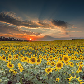 Sunflower sunset by Jeb Buchman - Landscapes Prairies, Meadows & Fields ( farm, field, barn, sunset, flower, sun )