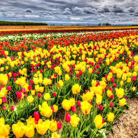 Tulips by Greg Wytcherley - Landscapes Prairies, Meadows & Fields