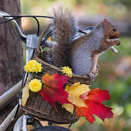 Basket Case by Michael Wolfe - Animals Other ( fall colors, grey squirrel, basket, mums, squirrel, bicycle,  )