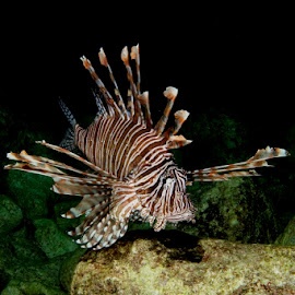 Invasive Lionfish by David Gilchrist - Animals Fish ( roatan marine park, fish, lionfish, venomous, caribbean )