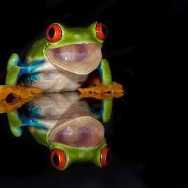 Reflection by Kutub Macro-man - Animals Amphibians ( reflection, macro, nature, red eye tree frog, amphibians, close-up, animal )